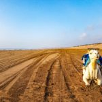 Should You Do A Camel Ride in Essaouira?